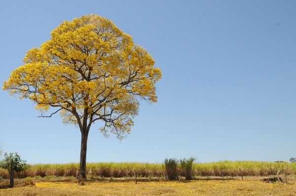 Ipe Tree